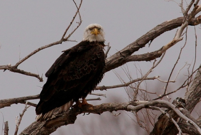 Bald Eagle (283) (1024x689)