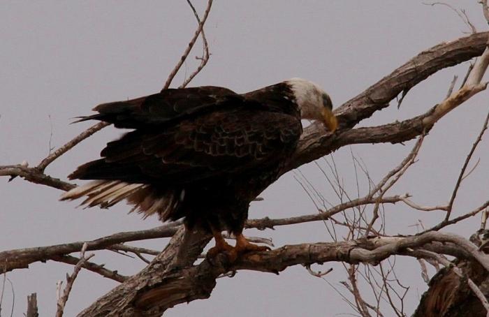 Bald Eagle (286) (1024x665)