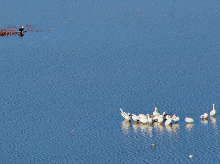 Bald Eagle and American White Pelicans (1024x765)