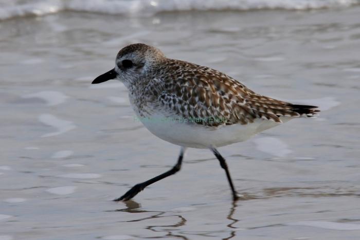 black-bellied-plover-4-1280x855