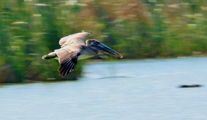 Brown Pelican (6) (1024x597)
