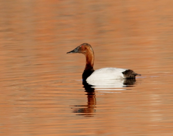 Canvasback (23) (1024x810)