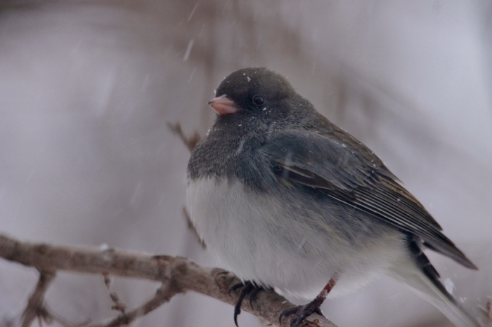 Dark-eyed Junco (18) (1024x683)
