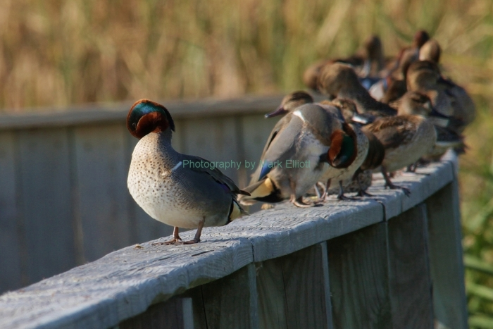 green-winged-teals-1280x854