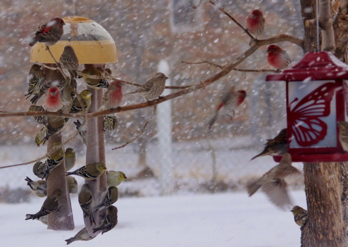 House finches and American Goldfinches (1024x728)