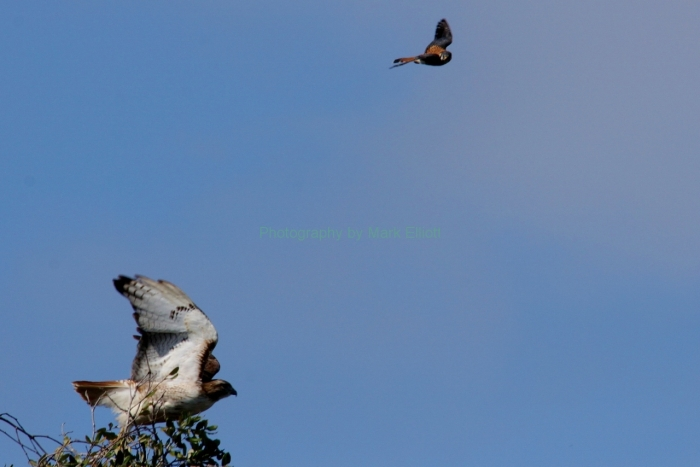 red-tailed-hawk-and-american-kestrel-1280x854