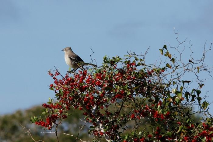 northern-mockingbird-1280x858