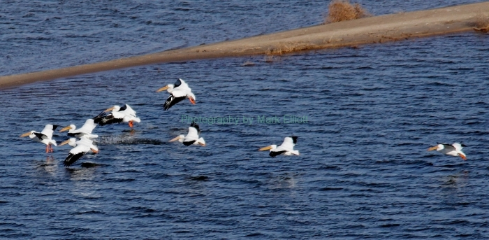 american-white-pelican-27-1280x628