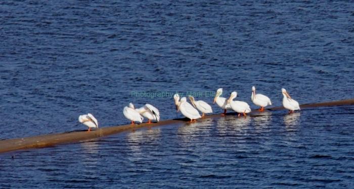 american-white-pelican-30-1280x686