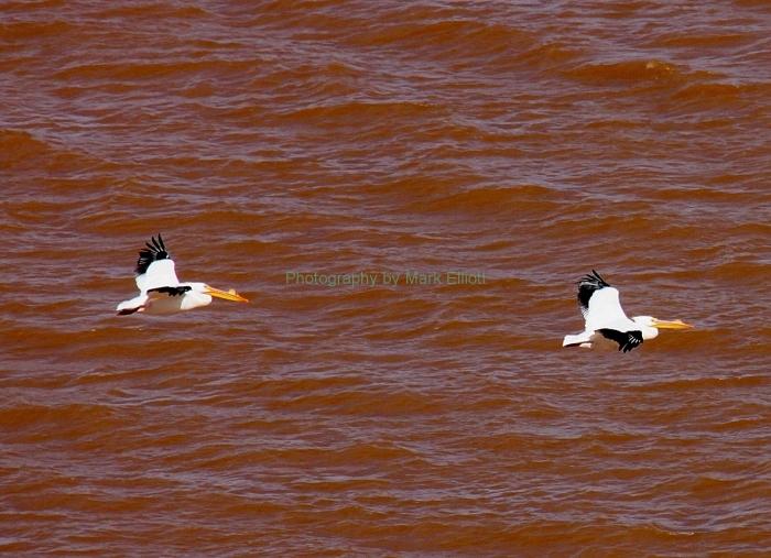 american-white-pelican-38-1280x928