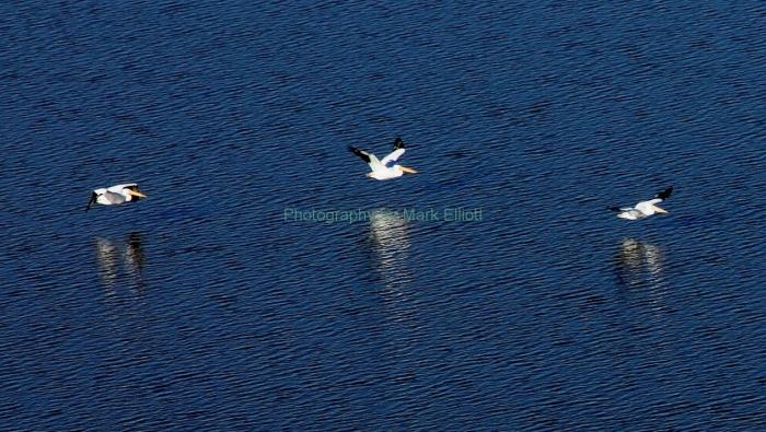 american-white-pelican-4-1280x723