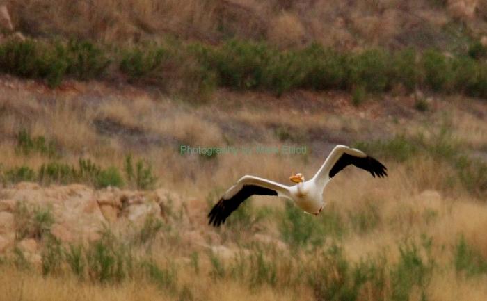 american-white-pelican-57-1280x792