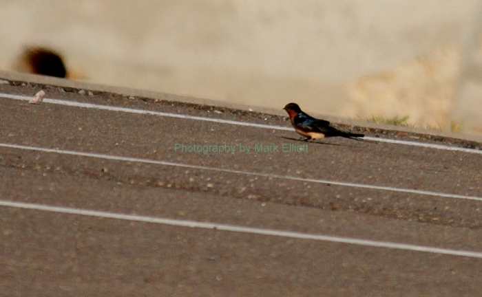 barn-swallow-2-1197x740