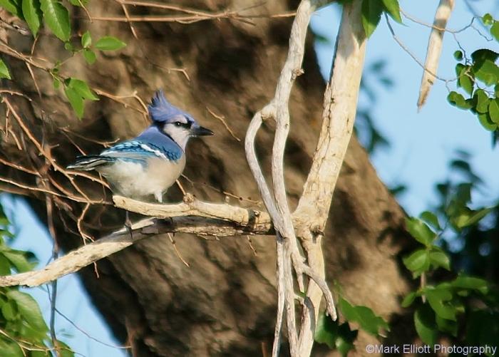 blue-jay-25-1209x866