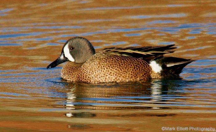 blue-winged-teal-5-1280x788