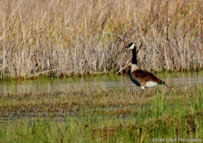 canada-goose-17-1280x902