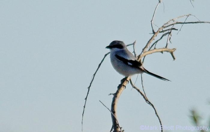 loggerhead-shrike-12-968x608