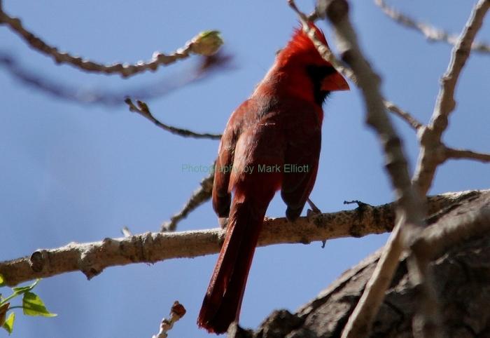 northern-cardinal-37-1280x882