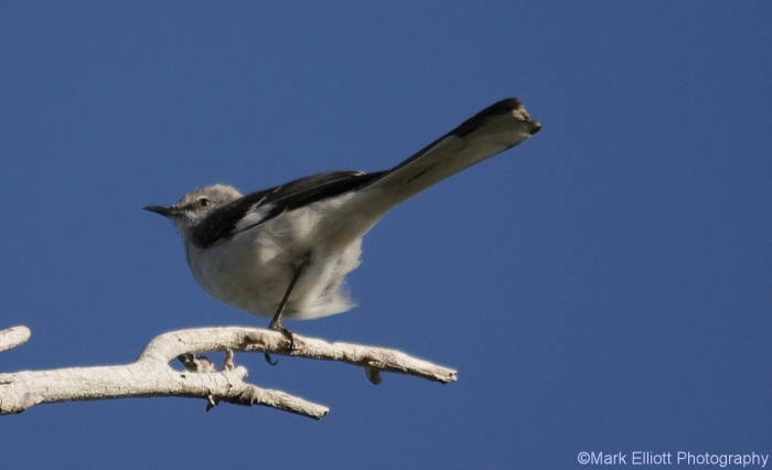 northern-mockingbird-11-1280x779