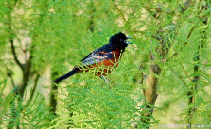 orchard-oriole-9-1280x782