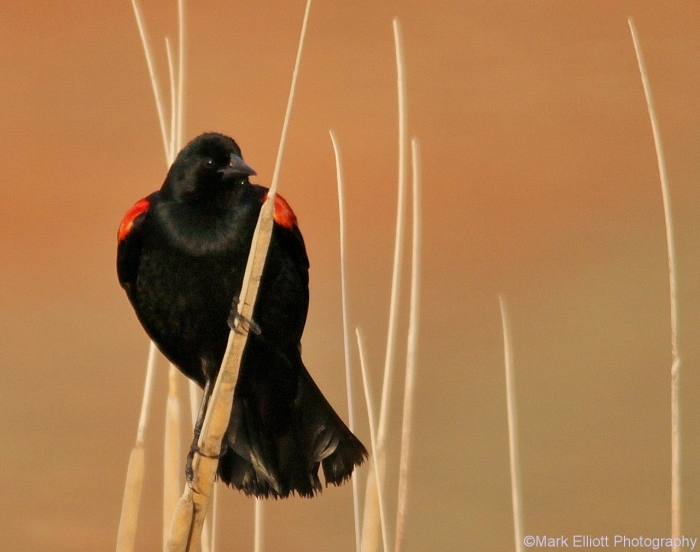 red-winged-blackbird-44-1280x1010