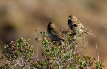 song-sparrow-18-1280x831