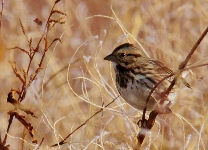 Song Sparrow (8) (981x708)