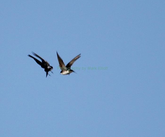 tree-swallow-11-1080x898
