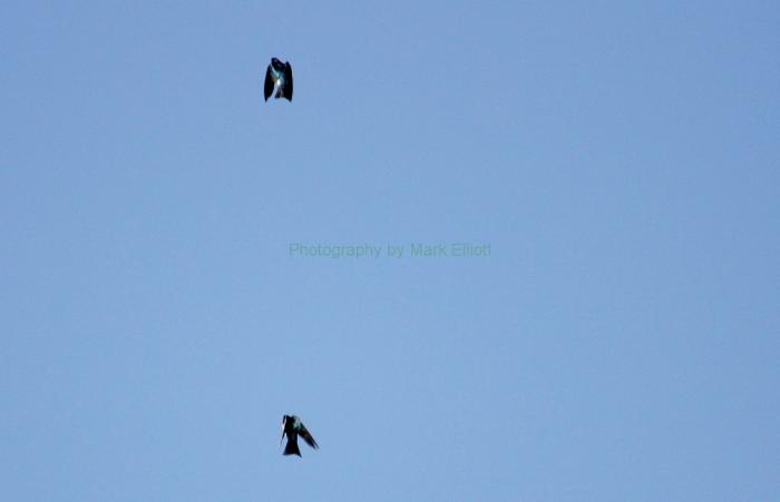 tree-swallow-16-1280x825