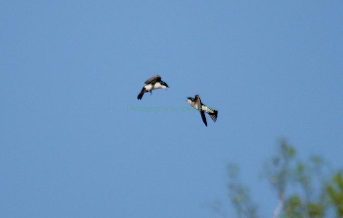 tree-swallow-4-1280x814