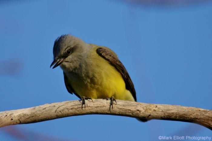 western-kingbird-4-1280x854