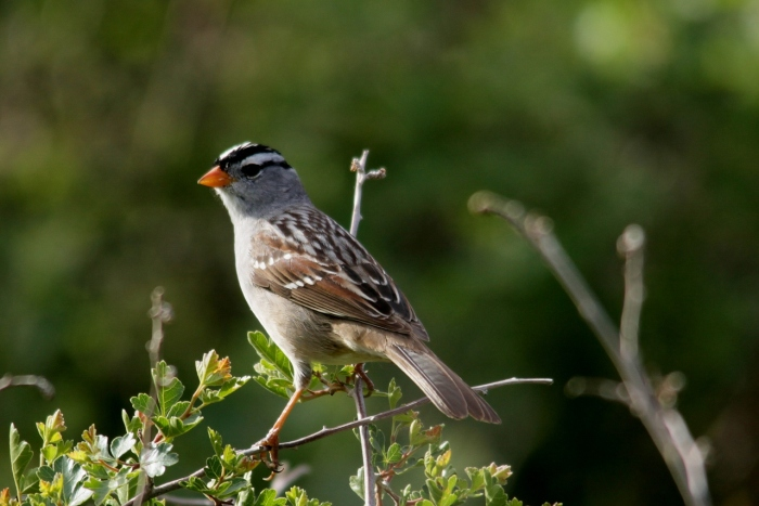 white-crowned-sparrow-23-1280x855