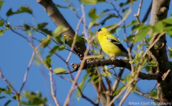 american-goldfinch-14-1280x793