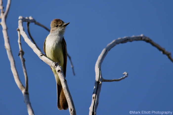 ash-throated-flycatcher-1280x854