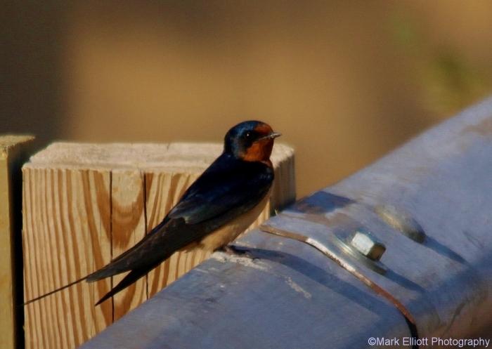barn-swallow-7-1280x909