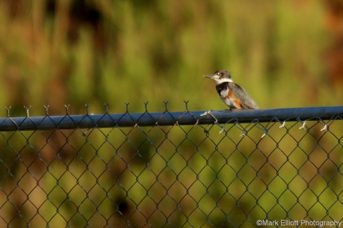 belted-kingfisher-18-1280x854