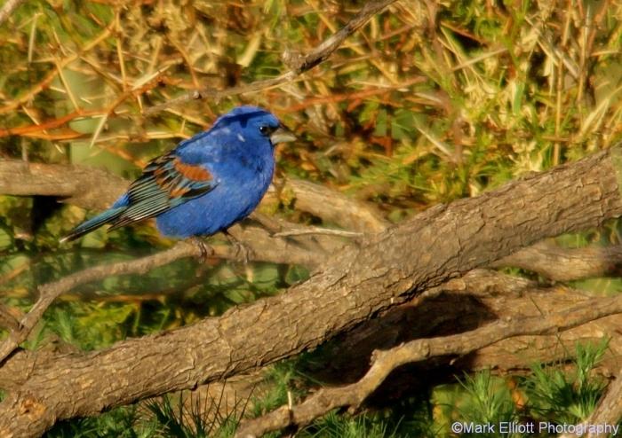 blue-grosbeak-20-1178x833
