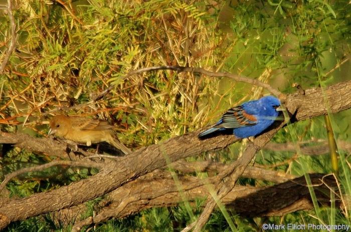 blue-grosbeak-25-1280x850