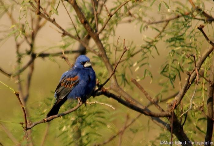blue-grosbeak-34-1280x877