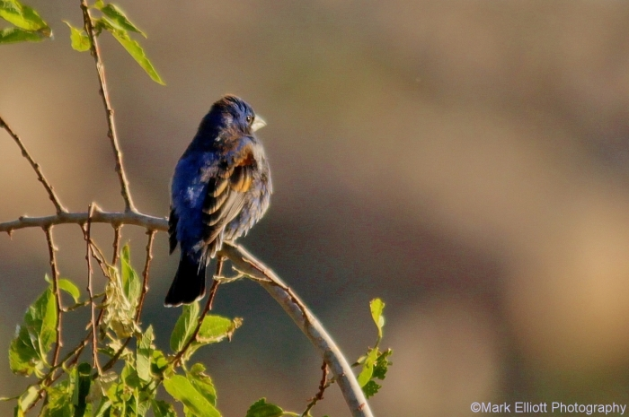 blue-grosbeak-7-1280x852