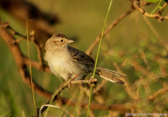 cassins-sparrow-9-1280x896