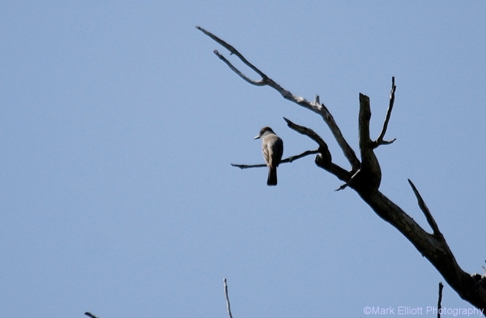 eastern-kingbird-1280x838