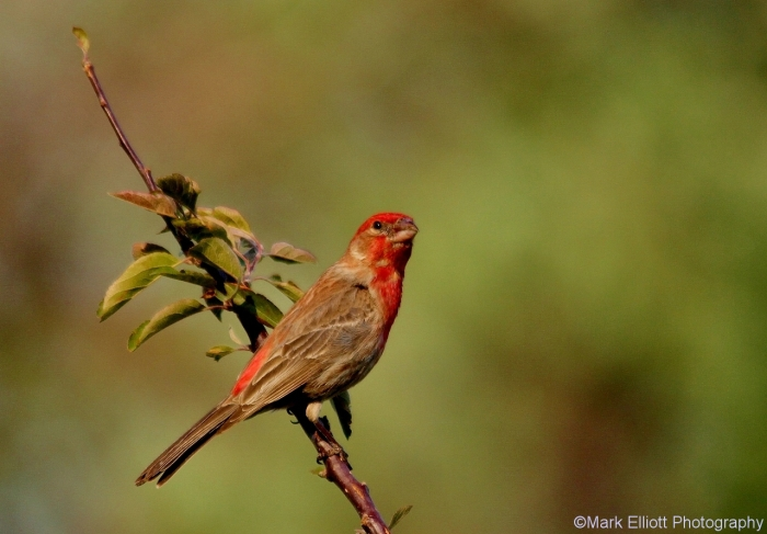 house-finch-32-1280x892