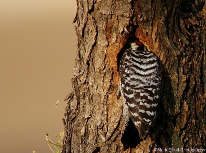 ladder-backed-woodpecker-74-1280x954