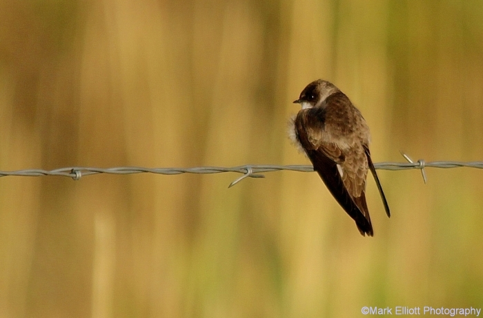 northern-rough-winged-swallow-6-1280x845
