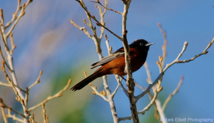 orchard-oriole-23-1280x736