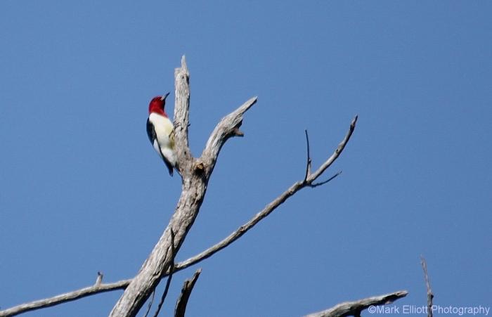 red-headed-woodpecker-23-1280x826