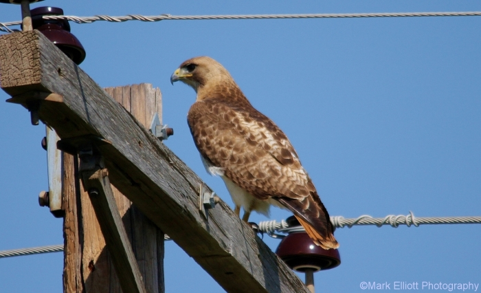 red-tailed-hawk-26-1280x780