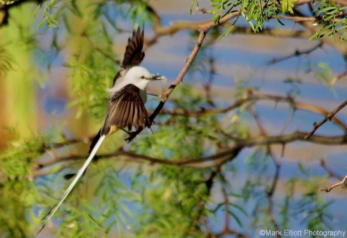 scissor-tailed-flycatcher-80-1280x880