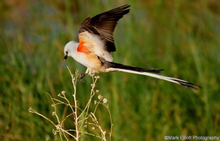 scissor-tailed-flycatcher-84-1280x825